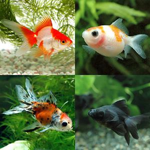 金魚の色をもっと鮮やかな赤にする裏ワザ!